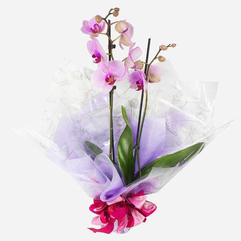 Order  Orchid Plant flowers
